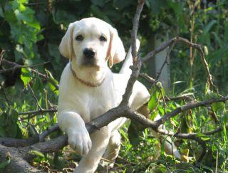 Tymon - Labrador Retriever Puppy for sale