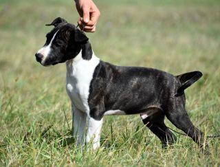 Goddess Og - Amerikai staffordshire terrier eladó kiskutya