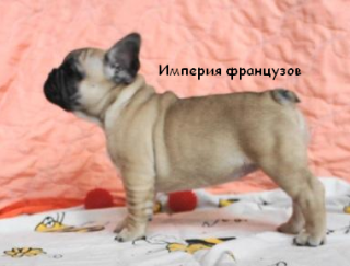 Keisy - French Bulldog Puppy for sale