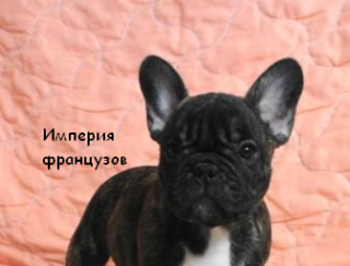 Karte - French Bulldog Puppy for sale