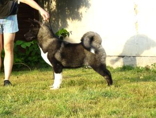 Ladharmaya Espersso  - American Akita Puppy for sale