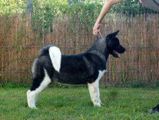 Ladharmaya Elegance Of The Win - Akita americano puppy for sale