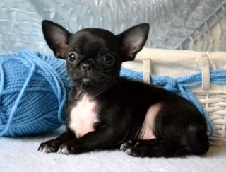 Roz Mary - Chihuahua Puppy for sale