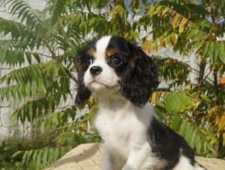 Magic Holiday Elegant And Sweet - Cavalier King Charles Spaniel Puppy for sale