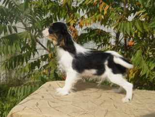 Magic Holiday Elegant And Sweet(domashnee Ymia Toffy) - Cavalier King Charles Spaniel Puppy for sale