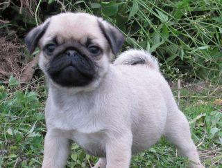 Palana Trezhe Khaus - Pug Puppy for sale