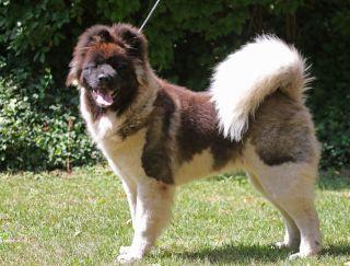 Asmita Bodacious Warrior - Americká akita puppy for sale