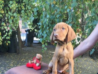 Meridien Mons Larry - Hungarian Short-haired Vizsla Puppy for sale