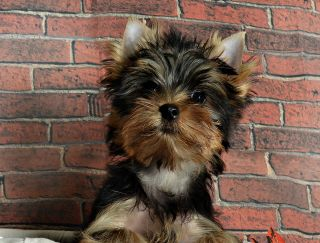 Darsy Sweet (darsy) - Yorkshire Terrier Puppy for sale