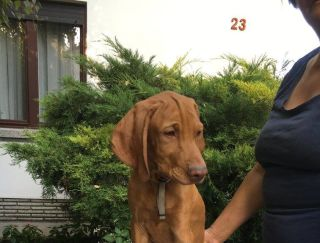 Siómenti Borostyán Jack - Hungarian Short-haired Vizsla Puppy for sale