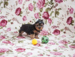 Quentin Lvovska Sonata - Yorkshire Terrier Puppy for sale