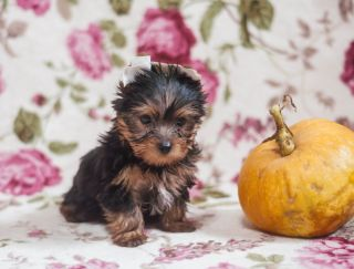 Kashkai - Yorkshire Terrier Puppy for sale