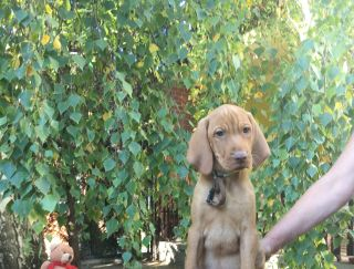 Meridien Mons Luis - Hungarian Short-haired Vizsla Puppy for sale