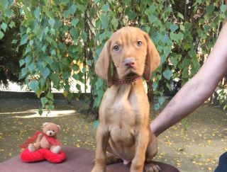 Meridien Mons Lord - Hungarian Short-haired Vizsla Puppy for sale