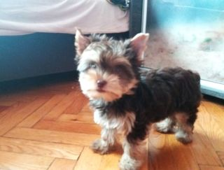 Beauty - Yorkshire Terrier Puppy for sale
