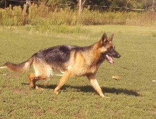 Innala - German Shepherd Dog Puppy for sale