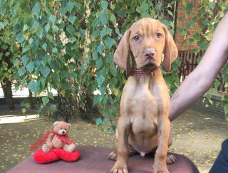 Lord - Hungarian Short-haired Vizsla Puppy for sale