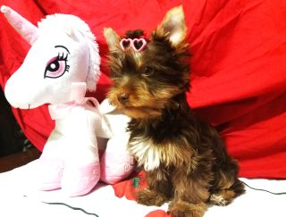 Brumi - Yorkshire Terrier Puppy for sale
