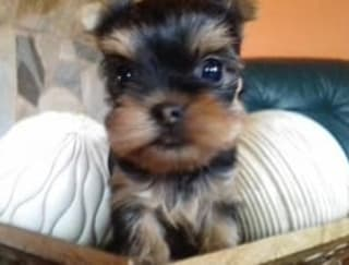 Didy Baby - Yorkshire Terrier Puppy for sale