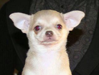 My Esperanza Zhan Pol - Chihuahua Puppy for sale