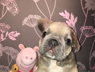 Lion - French Bulldog Puppy for sale