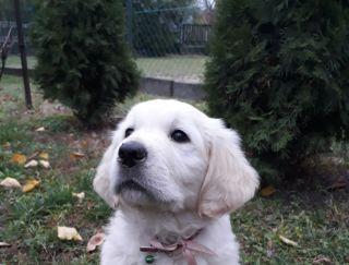 Ariel Honey Mediguard - Golden Retriever Puppy for sale
