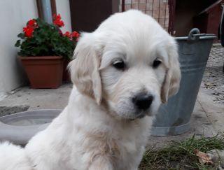 Annie Lucky Medigurad - Golden Retriever Puppy for sale