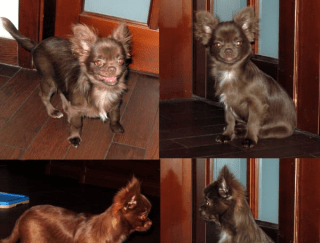 Patapych  - Chihuahua Puppy for sale