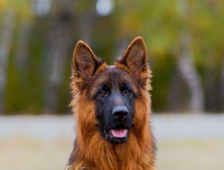 Garry Iz Doma Allens - German Shepherd Dog Puppy for sale
