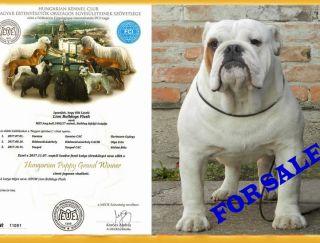 Lion Bulldogs Flash - Bulldog Puppy for sale