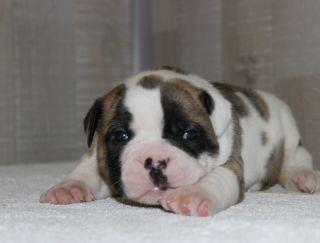 Gremy Black De Luxe - Bulldog americano puppy for sale