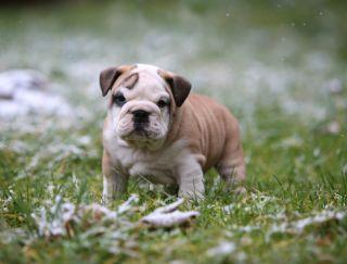Cody - Bulldog Puppy for sale