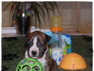 The Tiger Of Mine - American Staffordshire Terrier Puppy for sale