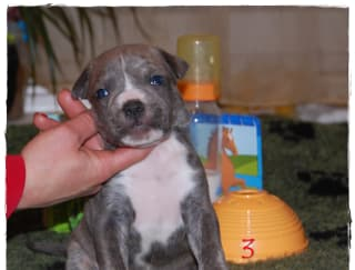 Teodor Of Sweet Gangland - American Staffordshire Terrier Щенок на продажу