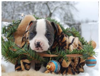 Touchdown - American Staffordshire Terrier Puppy for sale