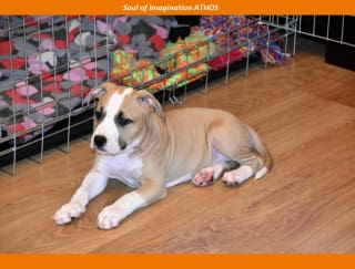Soul Of Imagination Athos - American Staffordshire Terrier Puppy for sale
