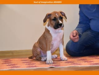 Soul Of Imagination Aramis - American Staffordshire Terrier Puppy for sale