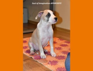 Soul Of Imagination Aphrodite - American Staffordshire Terrier Puppy for sale