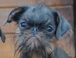 Hard Nut To Crack - Griffon Belge Puppy for sale