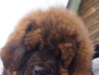 Nagarjuna - Tibetan Mastiff Puppy for sale
