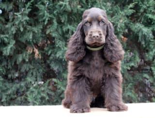 Jacob - English Cocker Spaniel Puppy for sale