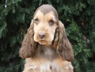 Caius - English Cocker Spaniel Puppy for sale
