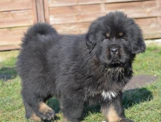 Hakim - Tibetan Mastiff Puppy for sale