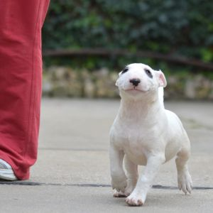 Francia bulldog - Troll Dogs Kennel