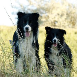 Paws & Hooves Border Collie