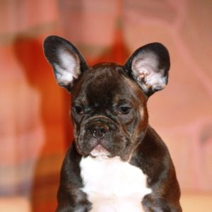 Hunnorum French Bulldog Kennel
