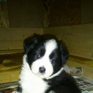 Seven Devil Border Collie Kennel