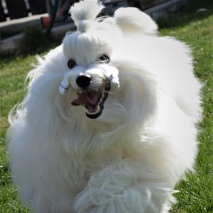 Whitebloom Coton De Tulear Kennel