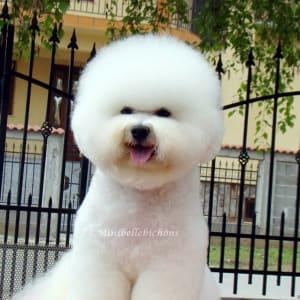 Minibelle Top Dog