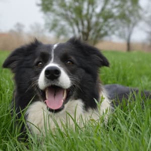 Border Collie - Kadafalvi Kennel